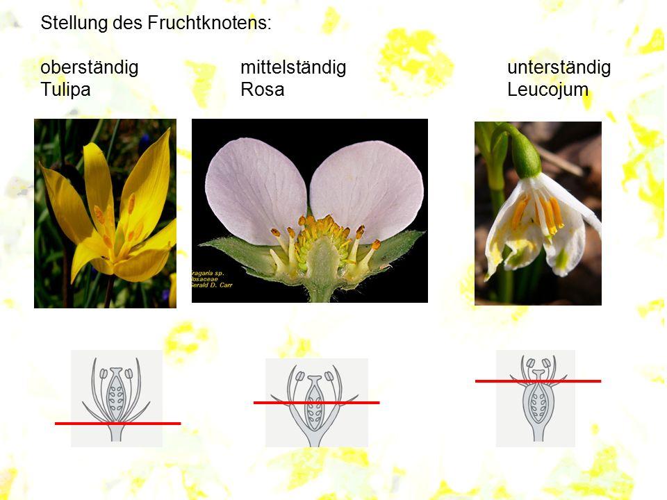 Stellung des Fruchtknotens: oberständig. mittelständig