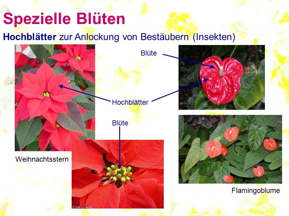 Spezielle Blüten Hochblätter zur Anlockung von Bestäubern (Insekten)