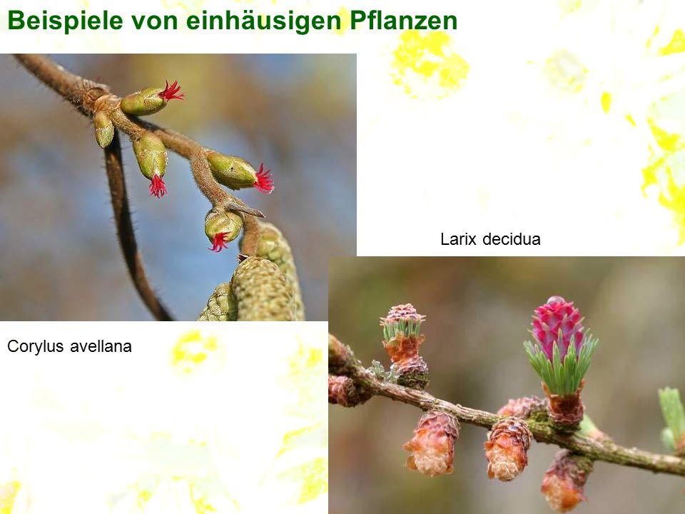Beispiele von einhäusigen Pflanzen