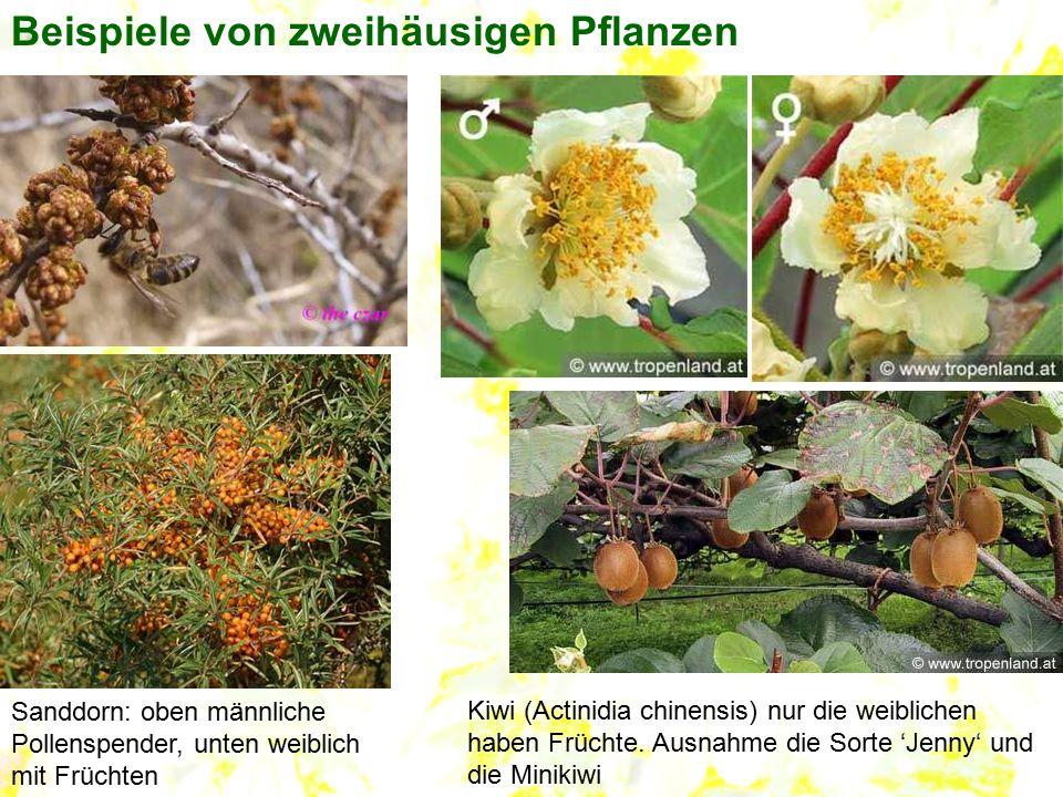 Beispiele von zweihäusigen Pflanzen