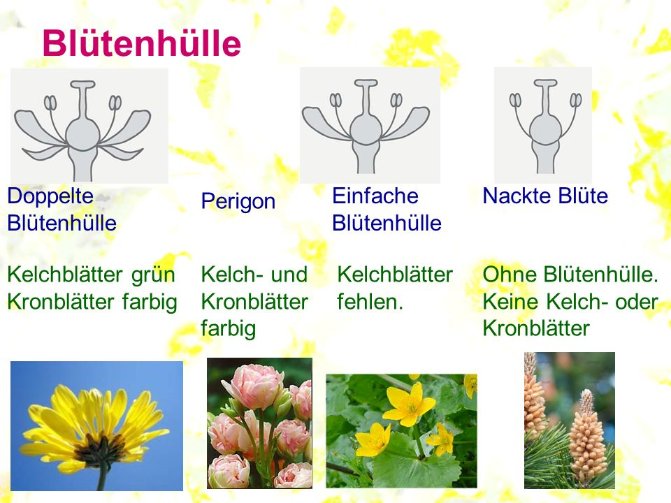Blütenhülle Doppelte Blütenhülle Einfache Blütenhülle Nackte Blüte