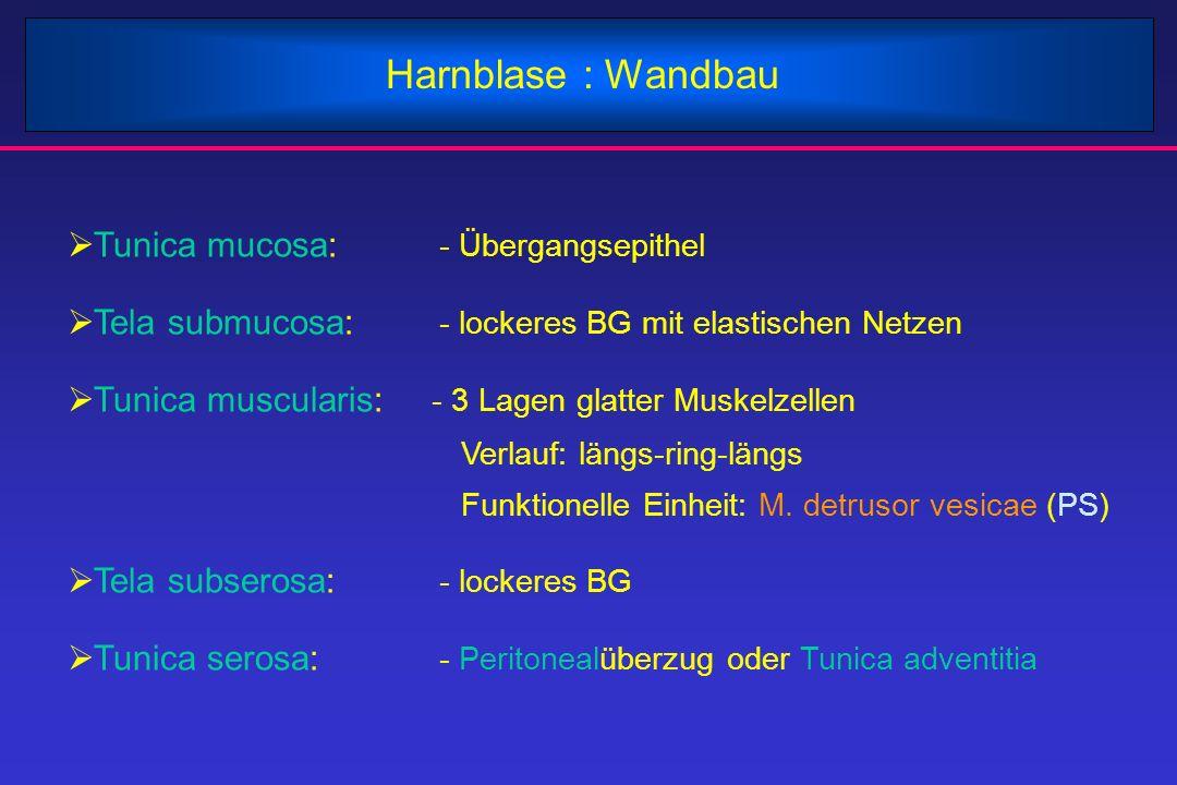 Harnblase : Wandbau Tunica mucosa: - Übergangsepithel
