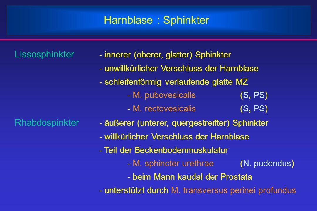 Harnblase : Sphinkter Lissosphinkter - innerer (oberer, glatter) Sphinkter. - unwillkürlicher Verschluss der Harnblase.