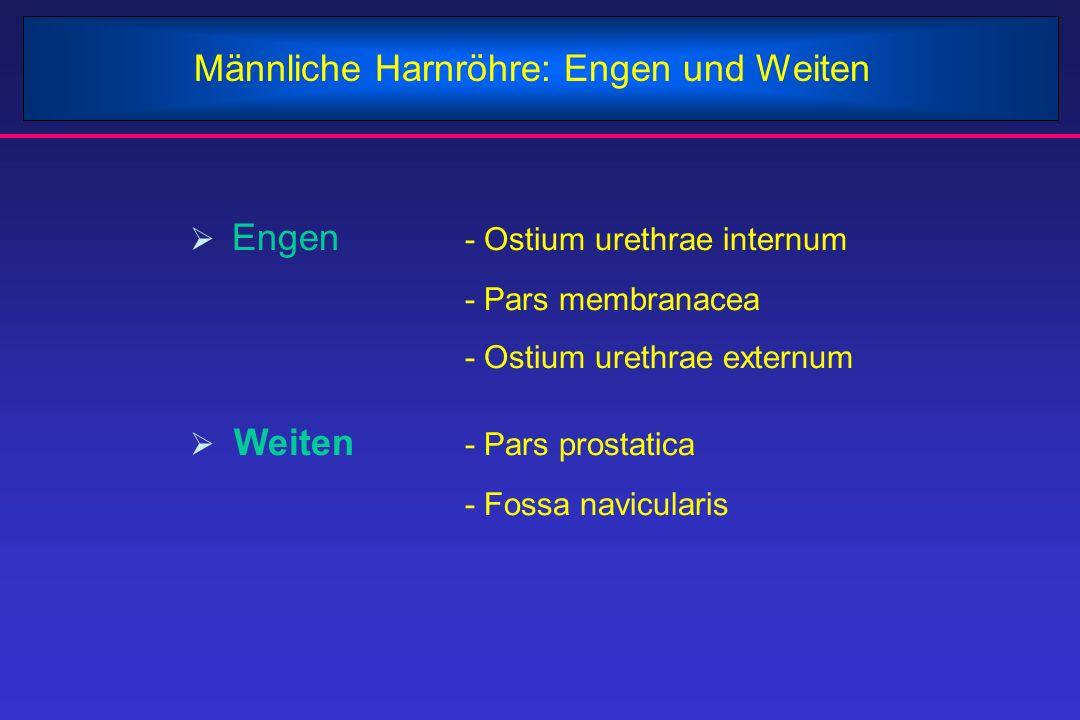 Männliche Harnröhre: Engen und Weiten