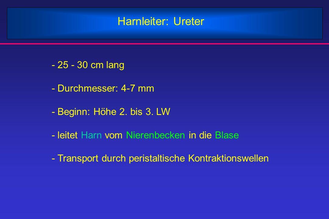 Harnleiter: Ureter - 25 - 30 cm lang - Durchmesser: 4-7 mm