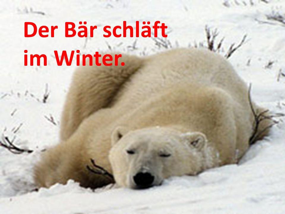 Der Bär schläft im Winter.