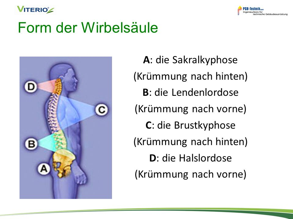 Form der Wirbelsäule A: die Sakralkyphose (Krümmung nach hinten) B: die Lendenlordose (Krümmung nach vorne) C: die Brustkyphose D: die Halslordose