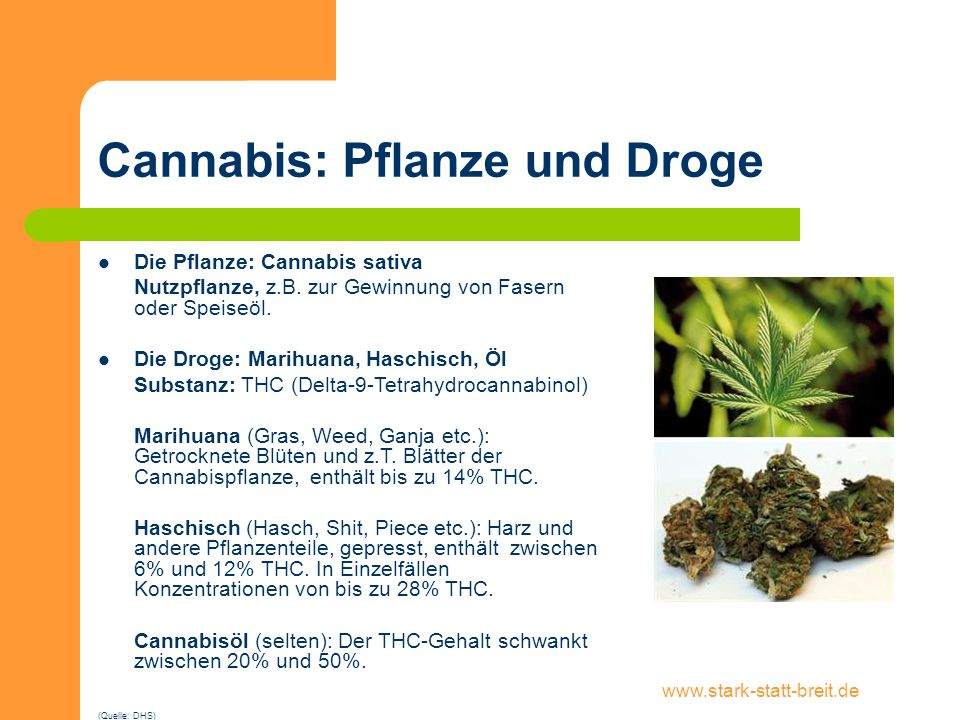 Cannabis: Pflanze und Droge