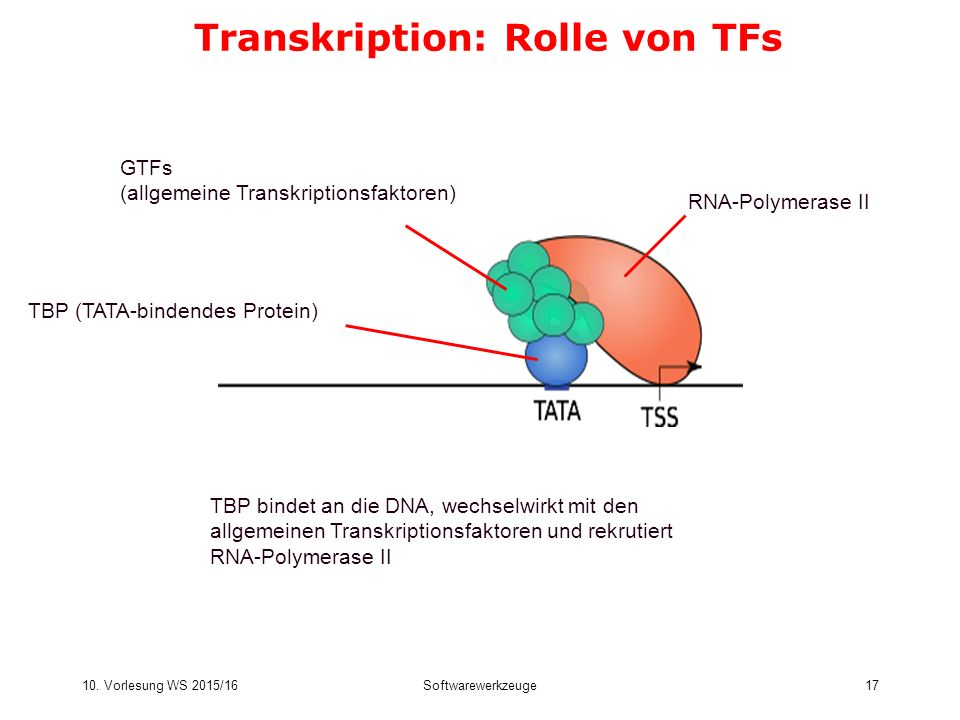 Transkription: Rolle von TFs