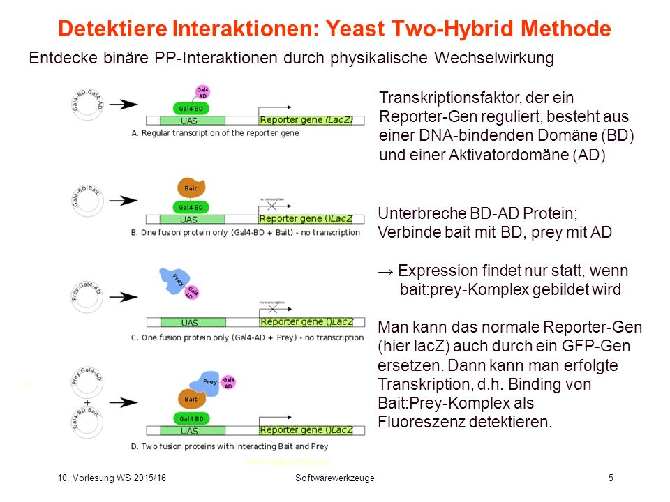 Detektiere Interaktionen: Yeast Two-Hybrid Methode