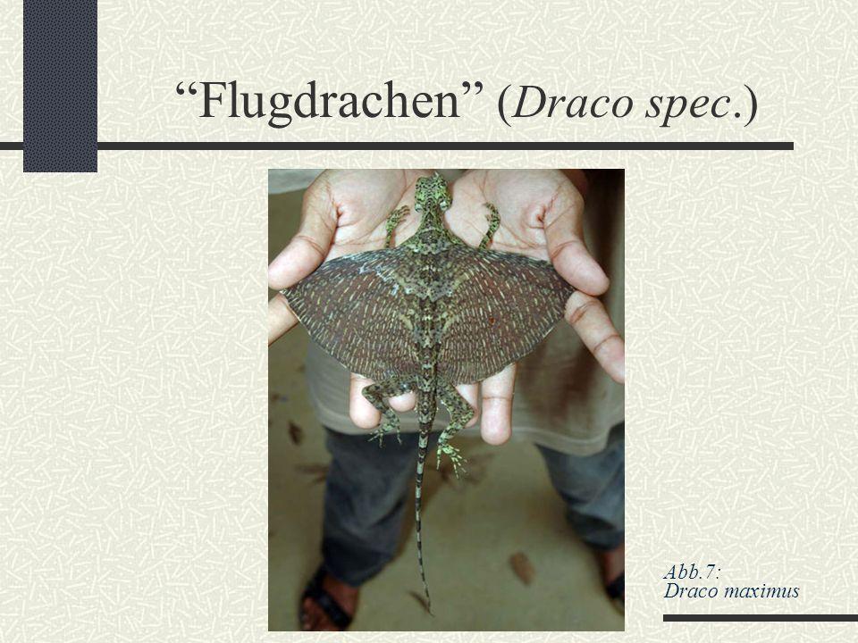 Flugdrachen (Draco spec.)
