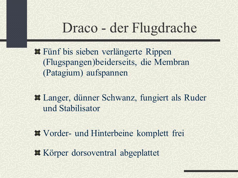 Draco - der Flugdrache Fünf bis sieben verlängerte Rippen (Flugspangen)beiderseits, die Membran (Patagium) aufspannen.