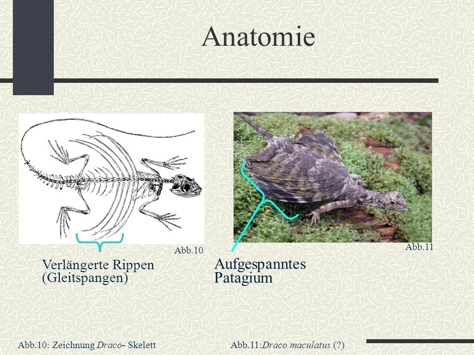 Anatomie Aufgespanntes Patagium Verlängerte Rippen (Gleitspangen)