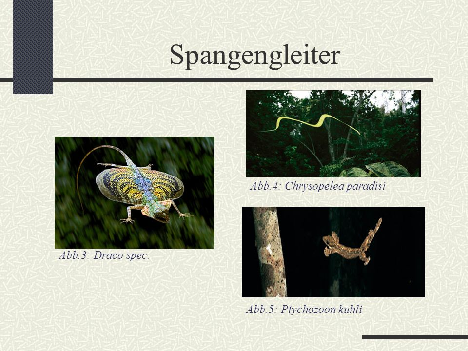 Spangengleiter Abb.4: Chrysopelea paradisi Abb.3: Draco spec.