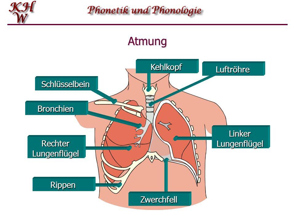 Atmung Kehlkopf Luftröhre Schlüsselbein Bronchien Linker Lungenflügel