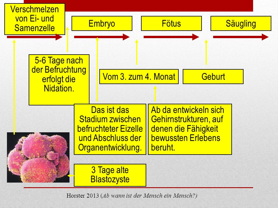 Verschmelzen von Ei- und Samenzelle Embryo Fötus Säugling