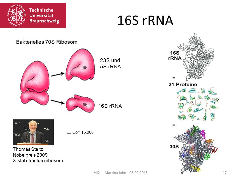 16S rRNA Bakterielles 70S Ribosom 23S und 5S rRNA 16S rRNA