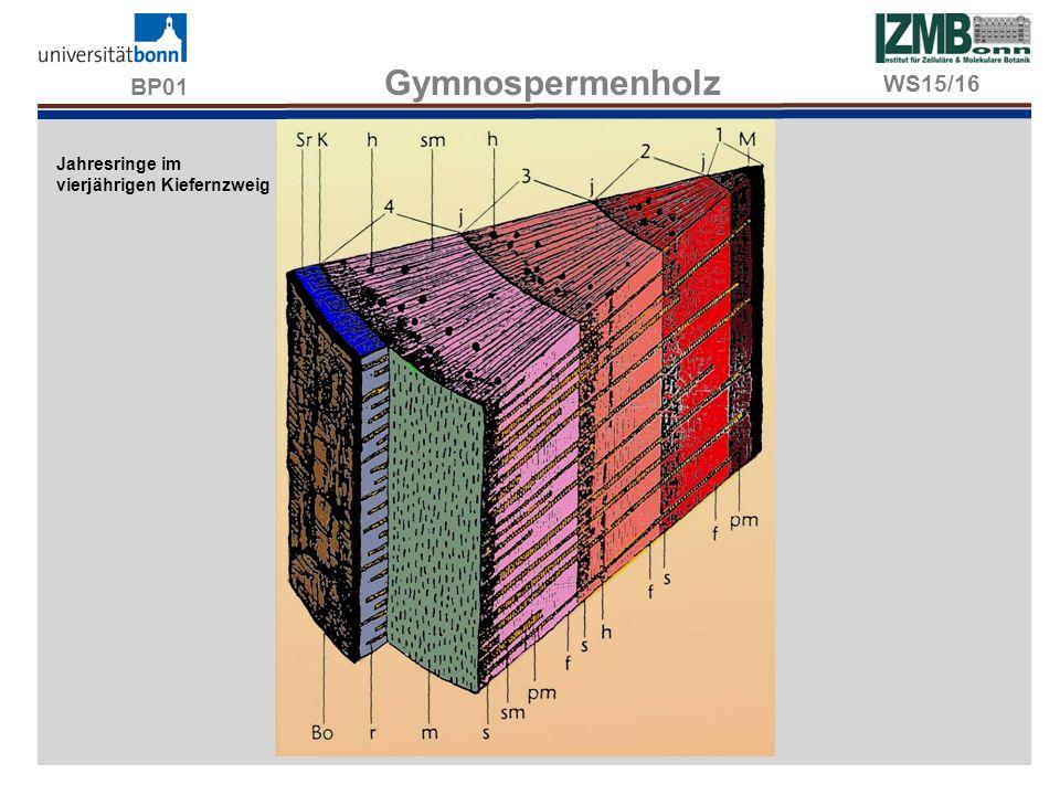 BP01 Gymnospermenholz WS15/16 Jahresringe im vierjährigen Kiefernzweig
