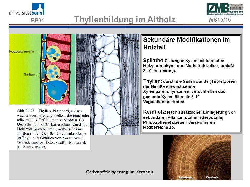 BP01 Thyllenbildung im Altholz