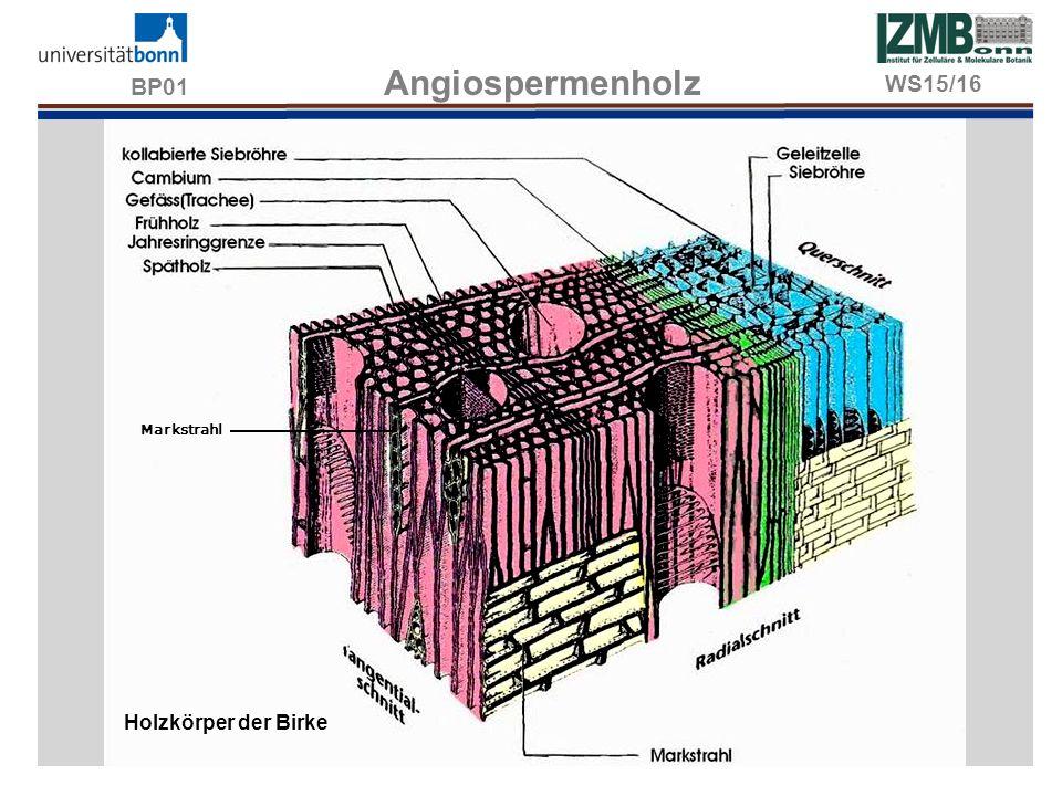 BP01 Angiospermenholz WS15/16 Markstrahl Holzkörper der Birke