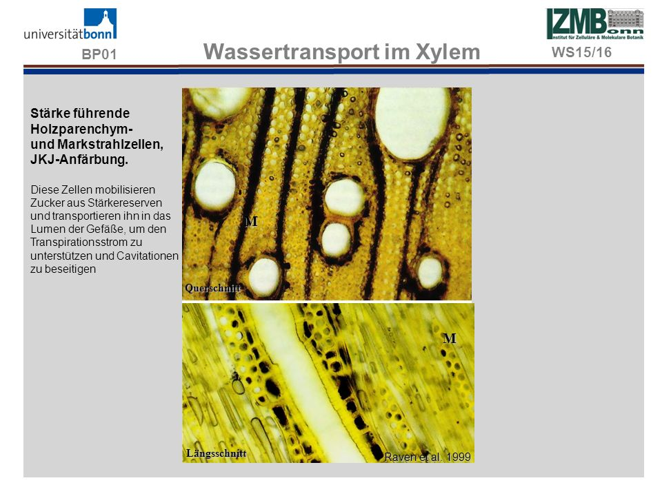 BP01 Wassertransport im Xylem