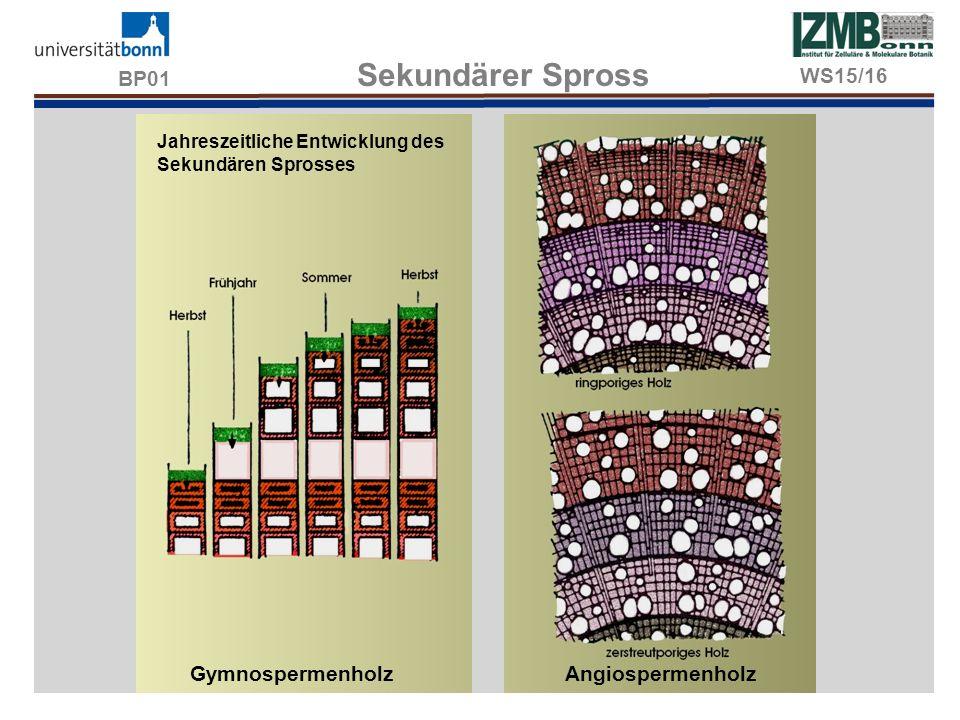 BP01 Sekundärer Spross WS15/16 Gymnospermenholz Angiospermenholz