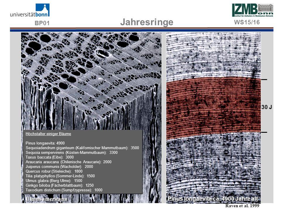 BP01 Jahresringe WS15/16 30 J Ulmus americana