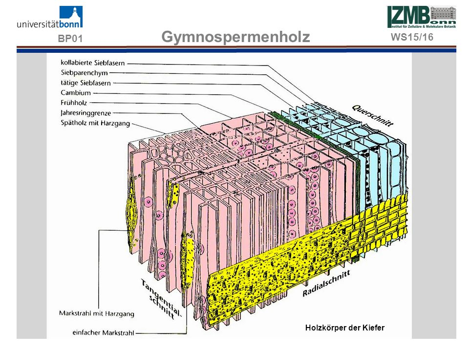 BP01 Gymnospermenholz WS15/16 Holzkörper der Kiefer