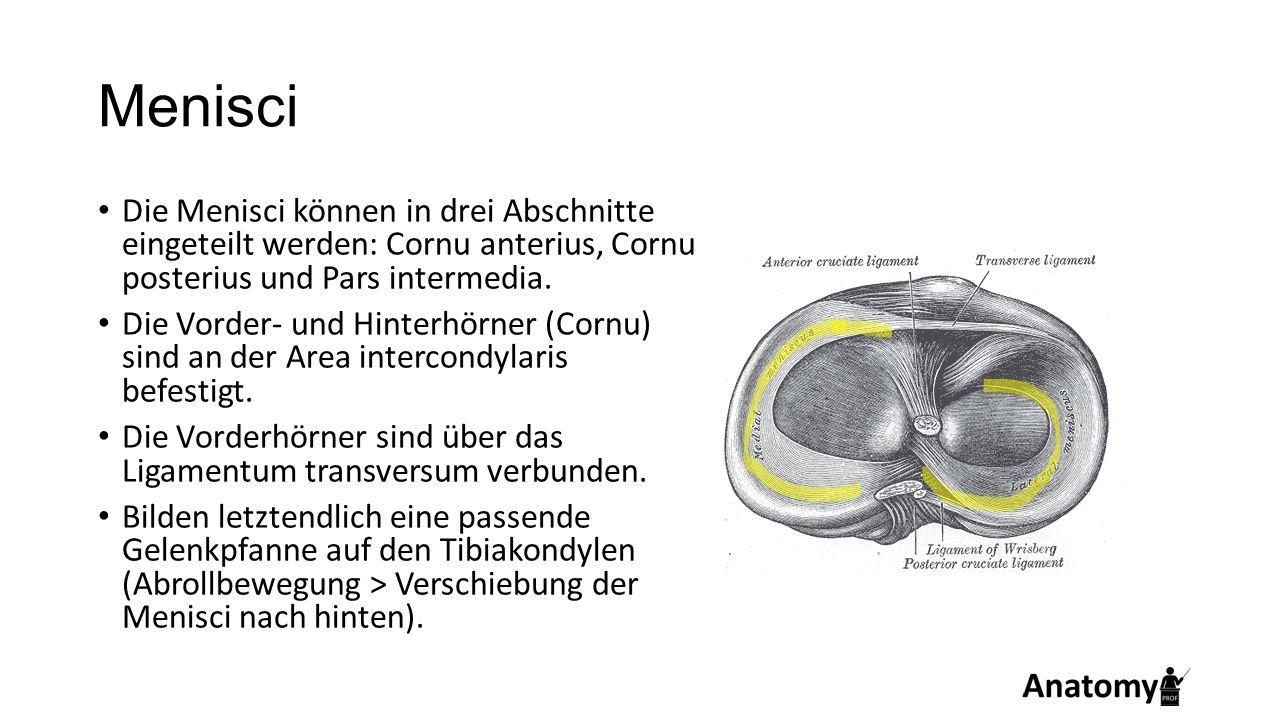 Menisci Die Menisci können in drei Abschnitte eingeteilt werden: Cornu anterius, Cornu posterius und Pars intermedia.
