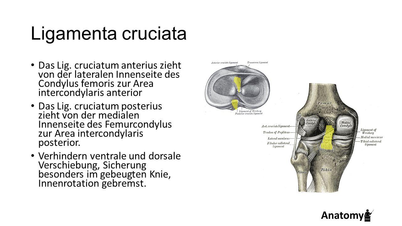 Ligamenta cruciata Das Lig. cruciatum anterius zieht von der lateralen Innenseite des Condylus femoris zur Area intercondylaris anterior.
