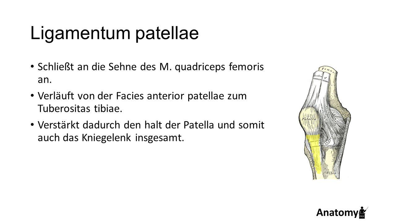 Ligamentum patellae Schließt an die Sehne des M. quadriceps femoris an. Verläuft von der Facies anterior patellae zum Tuberositas tibiae.