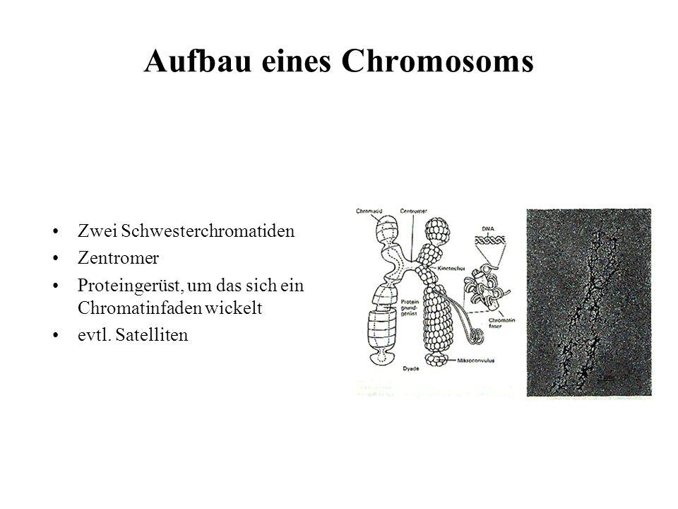 Aufbau eines Chromosoms