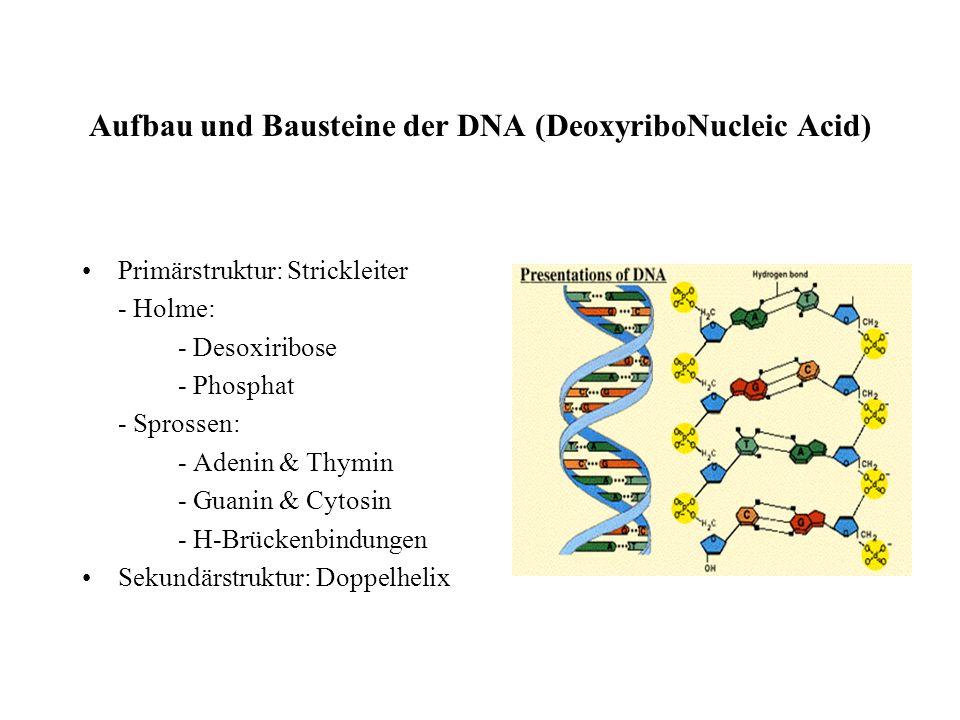 Aufbau und Bausteine der DNA (DeoxyriboNucleic Acid)