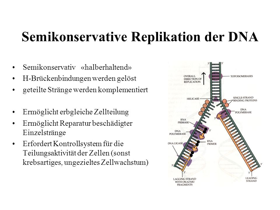 Semikonservative Replikation der DNA