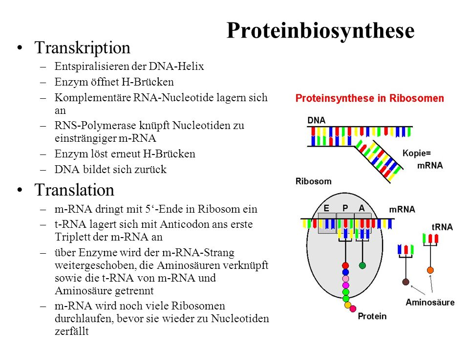 Proteinbiosynthese Transkription Translation