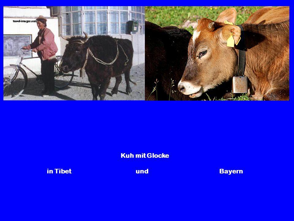 Kuh mit Glocke in Tibet und Bayern.