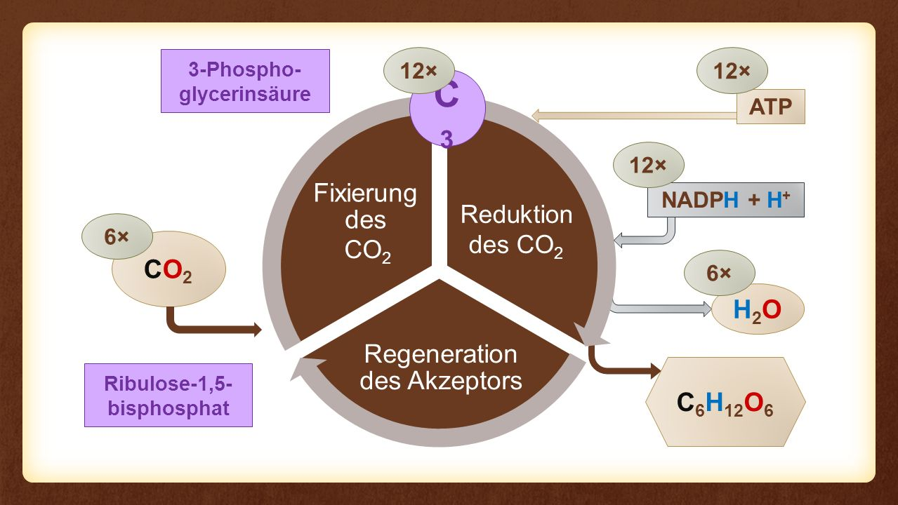 3-Phospho-glycerinsäure Ribulose-1,5- bisphosphat