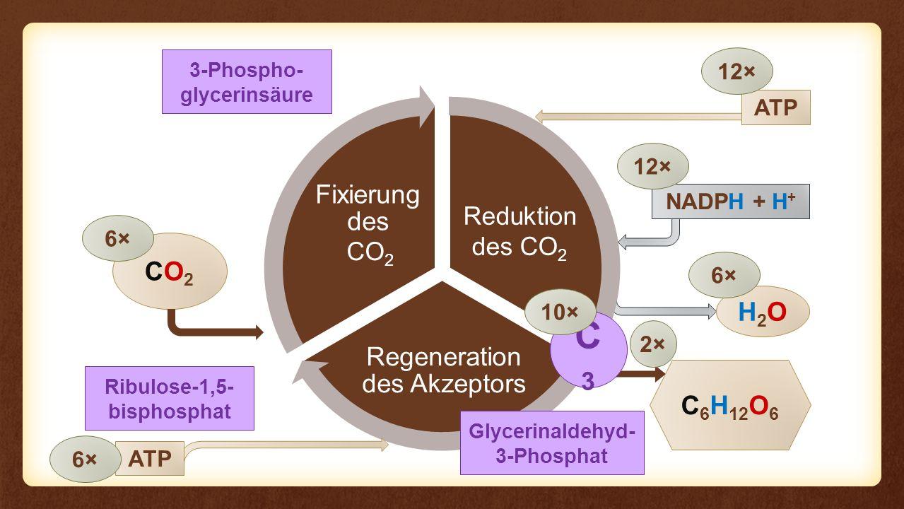 C3 CO2 H2O C6H12O6 Fixierung des Eingangs Reaktion