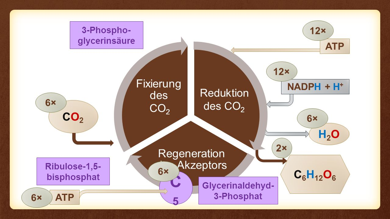 C5 CO2 H2O C6H12O6 Fixierung des Eingangs Reaktion