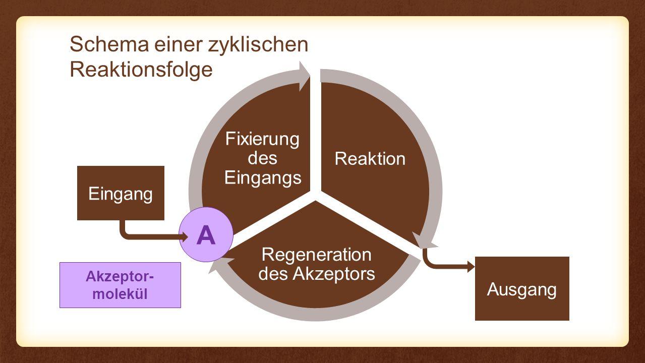A Schema einer zyklischen Reaktionsfolge Fixierung des Eingangs