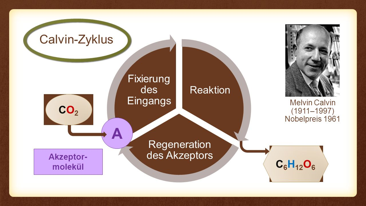 A Calvin-Zyklus CO2 C6H12O6 Fixierung des Eingangs Reaktion