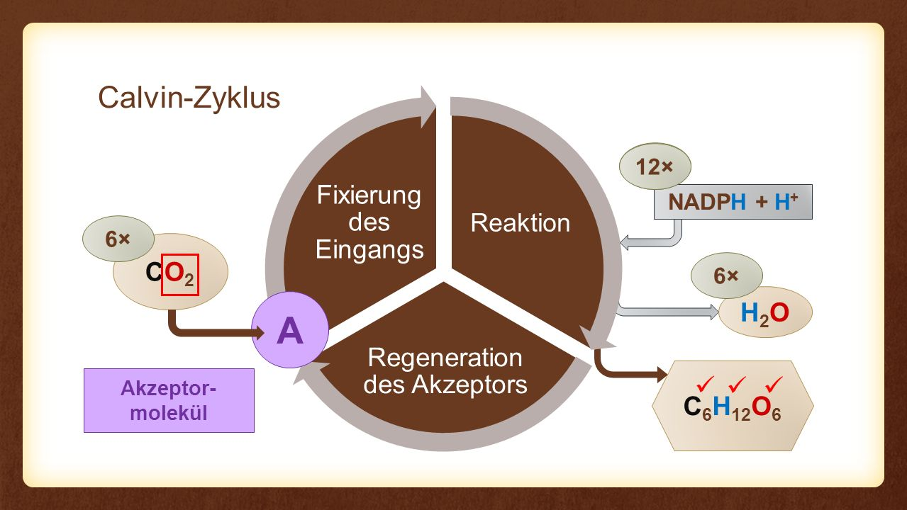A Calvin-Zyklus CO2 H2O C6H12O6    Fixierung des Eingangs Reaktion