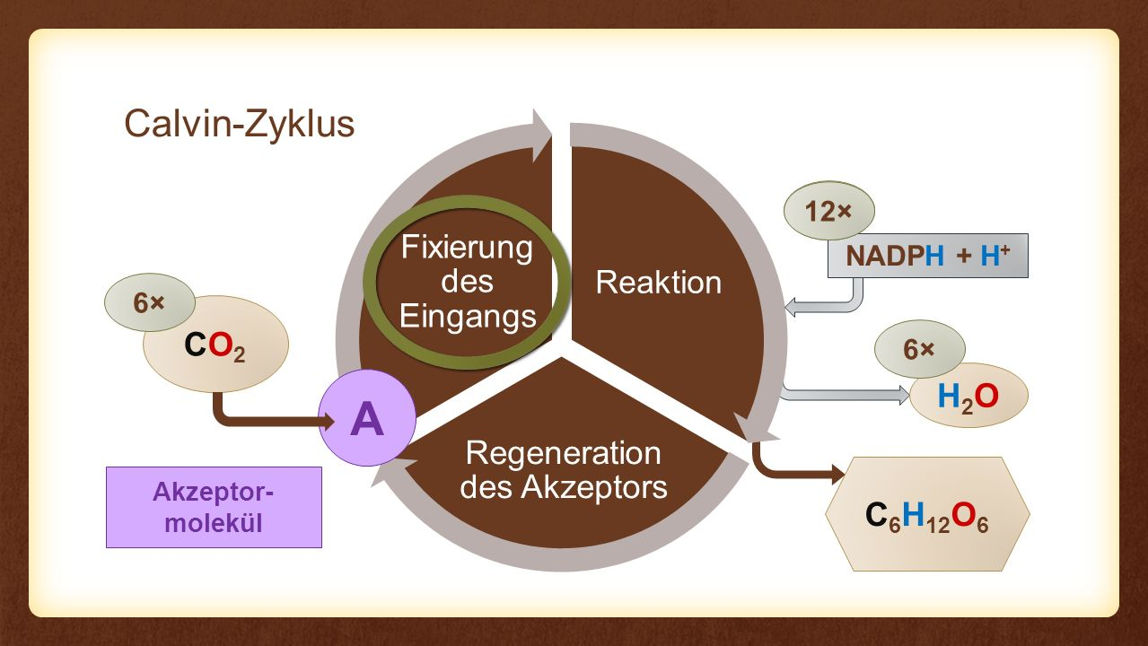 A Calvin-Zyklus CO2 H2O C6H12O6 Fixierung des Eingangs Reaktion
