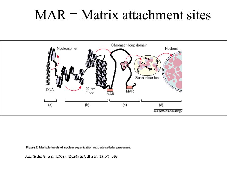 MAR = Matrix attachment sites