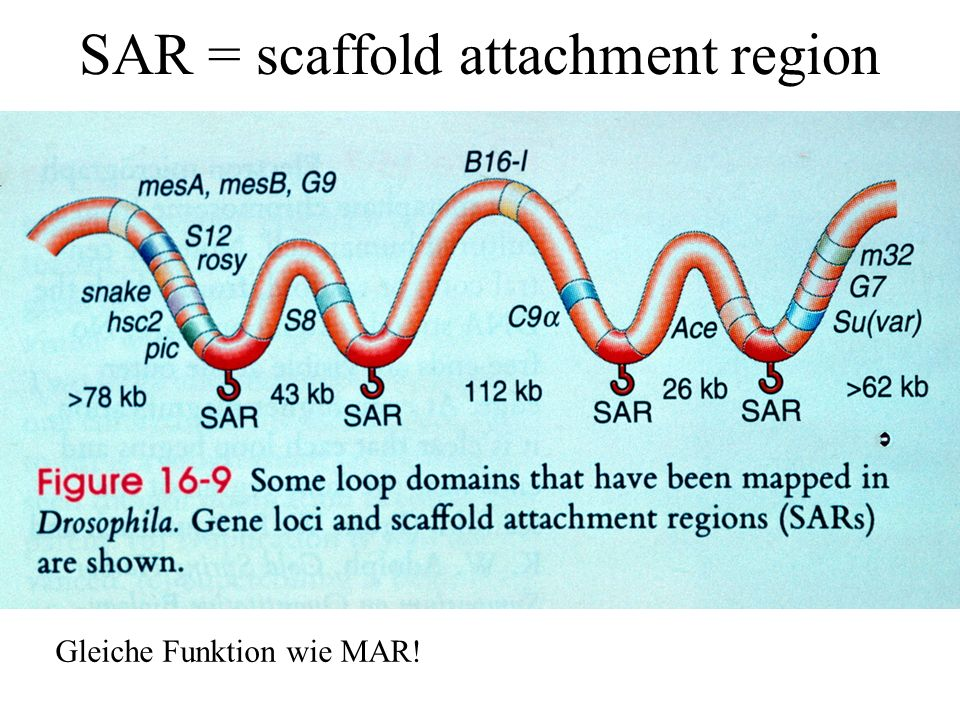 SAR = scaffold attachment region