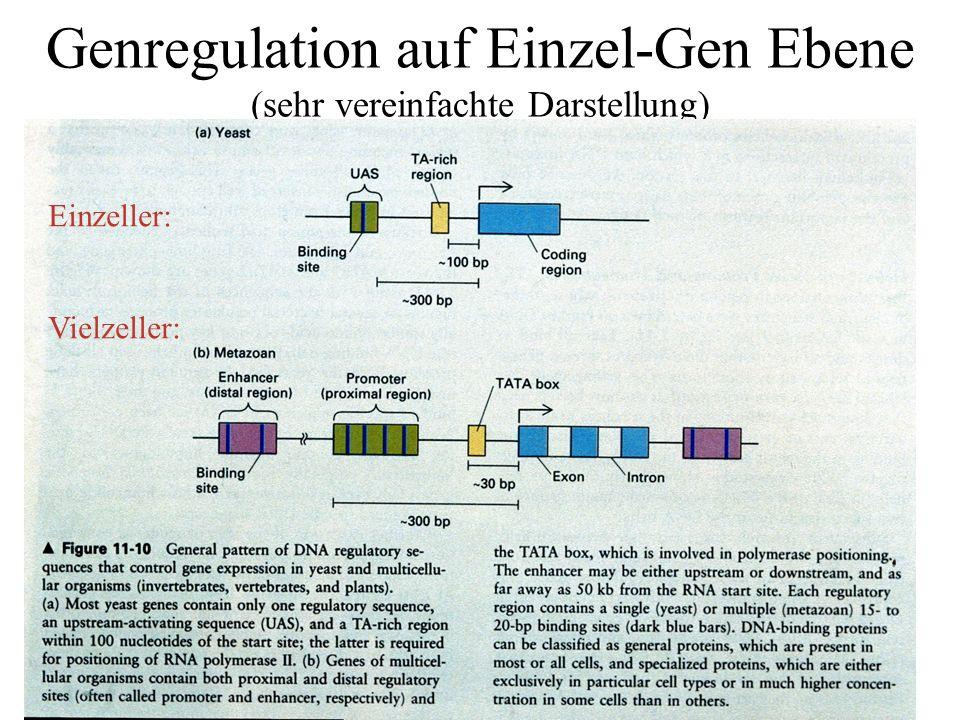 Genregulation auf Einzel-Gen Ebene (sehr vereinfachte Darstellung)