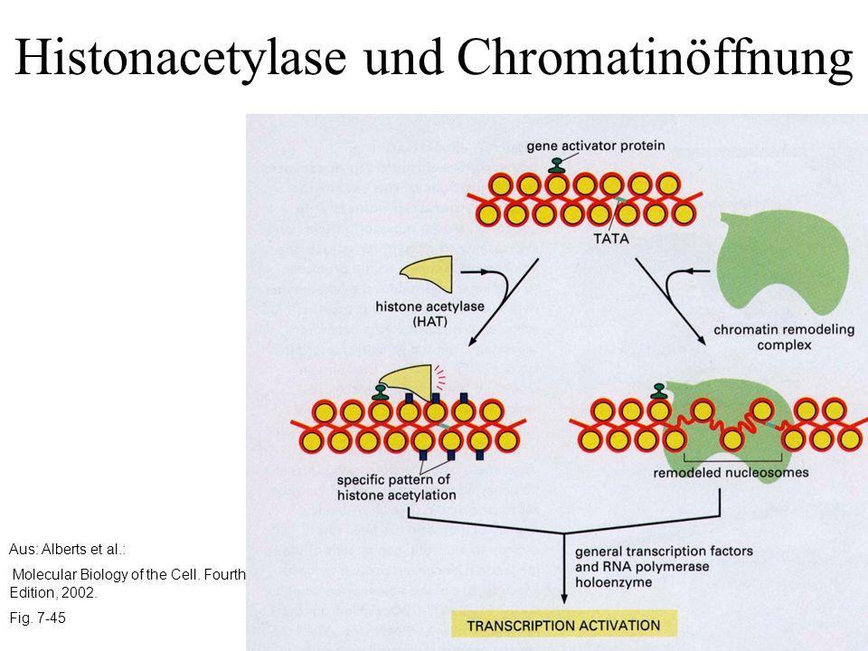 Histonacetylase und Chromatinöffnung