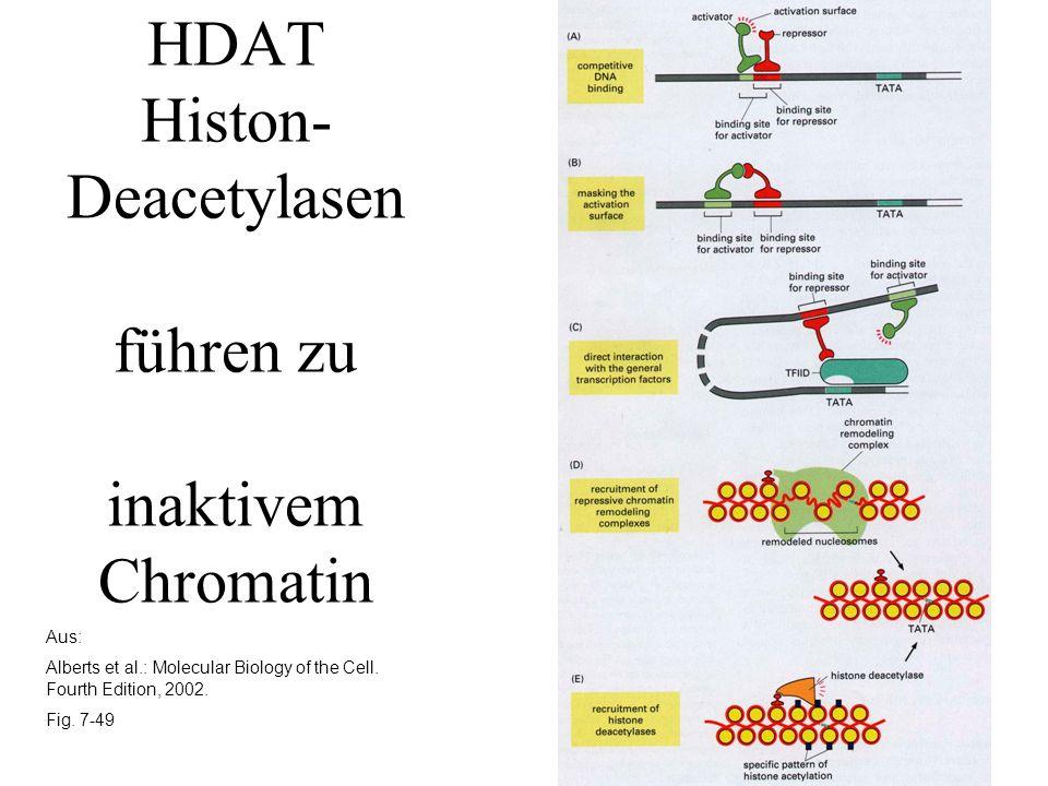 HDAT Histon-Deacetylasen führen zu inaktivem Chromatin