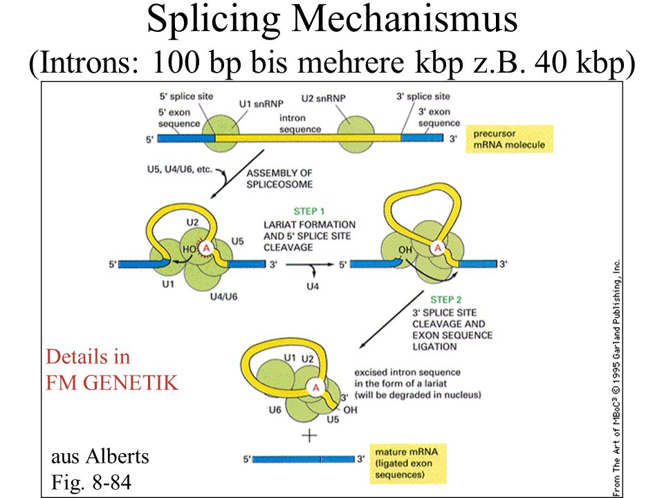 Splicing Mechanismus (Introns: 100 bp bis mehrere kbp z.B. 40 kbp)
