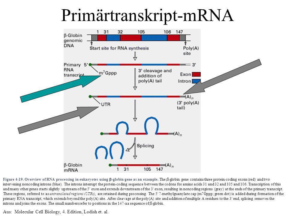 Primärtranskript-mRNA